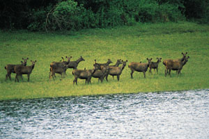 www.ayurveda-india.it: sambar deer