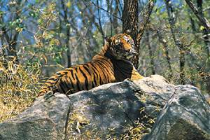 www.ayurveda-india.it: tigre